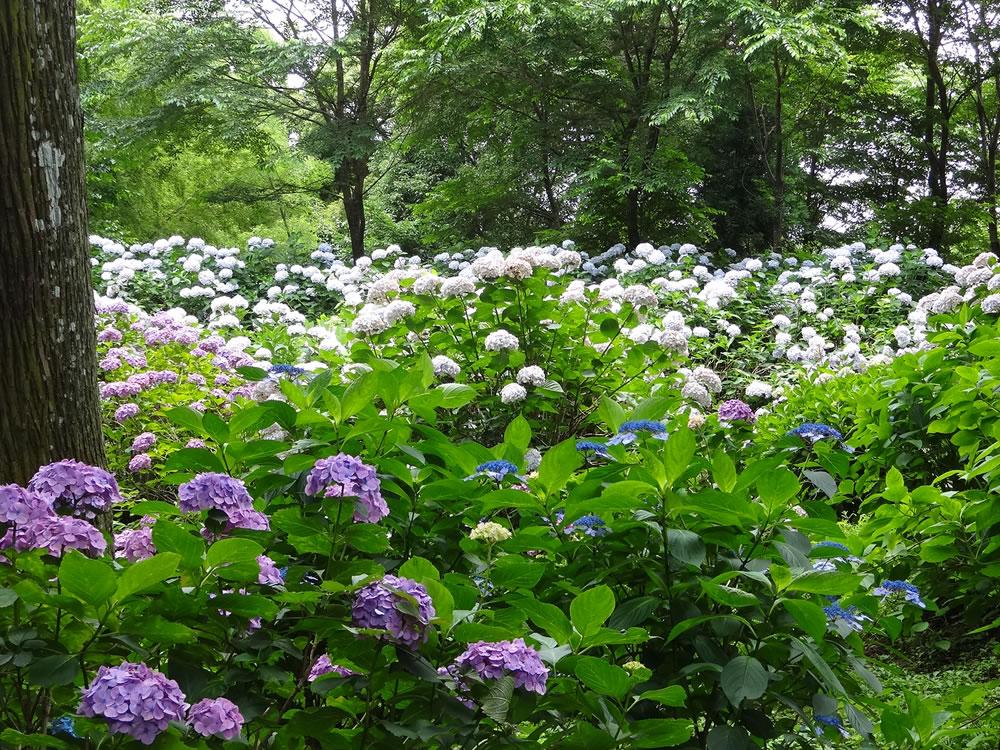 梅雨入りしましたが紫陽花が見ごろです!